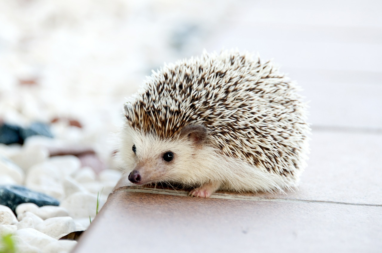 The Story of Little Hedgehog